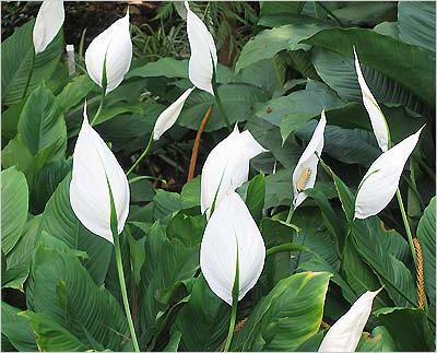 домашние цветы беленькие цветочки и тоненькие листики 547892268